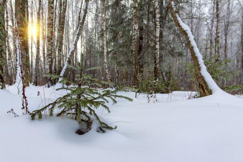 一棵小树在冬季森林里长 免版税库存图片