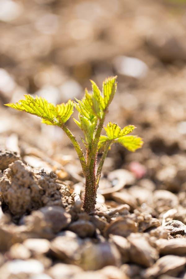 一棵小植物在春天增长在土壤外面 免版税库存图片