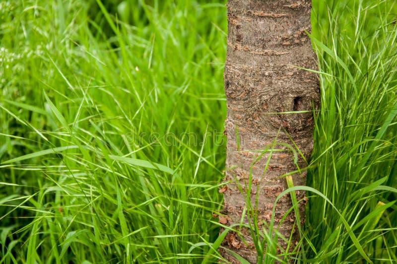 一棵小樱桃树的树干在夏天 生长高绿草 这是夏天外面 免版税库存图片