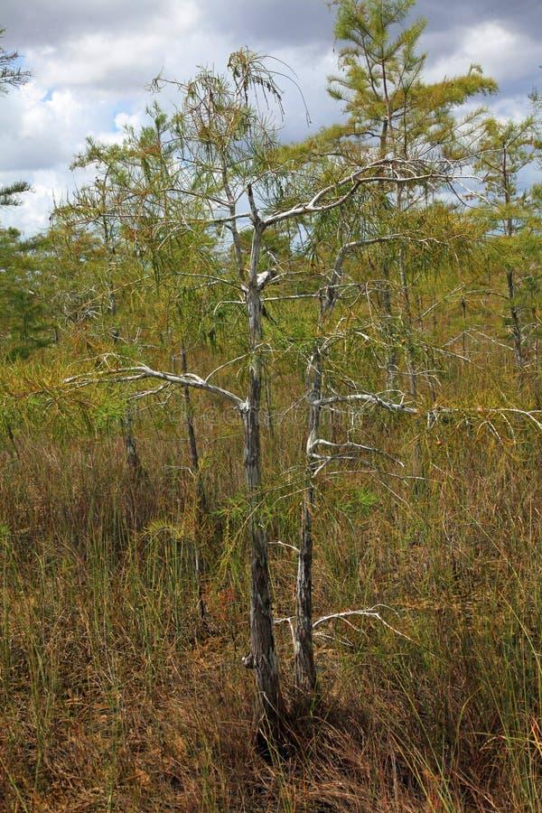 一棵小池柏树在大沼泽地国家公园, FL 免版税库存图片