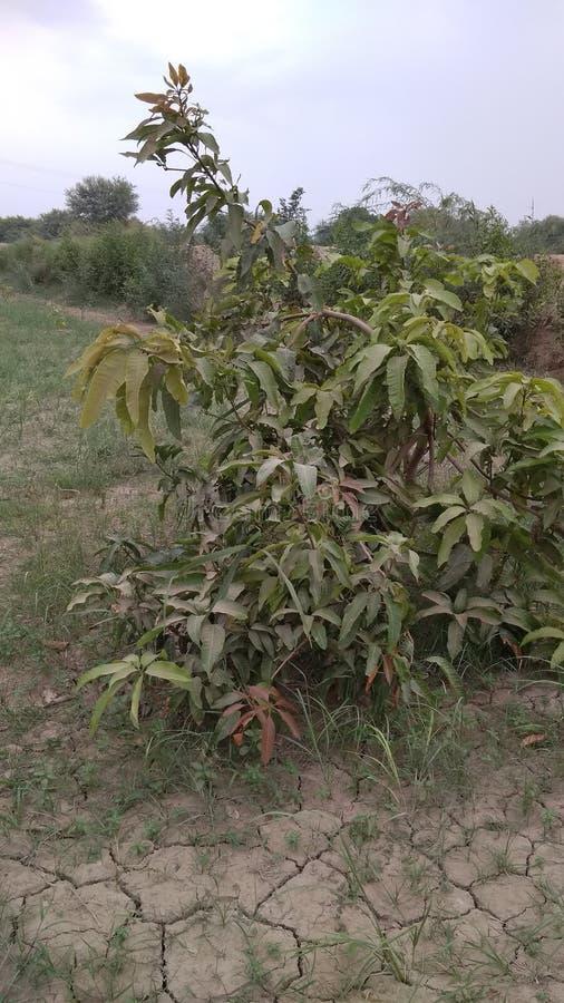 一棵小芒果植物 免版税库存照片