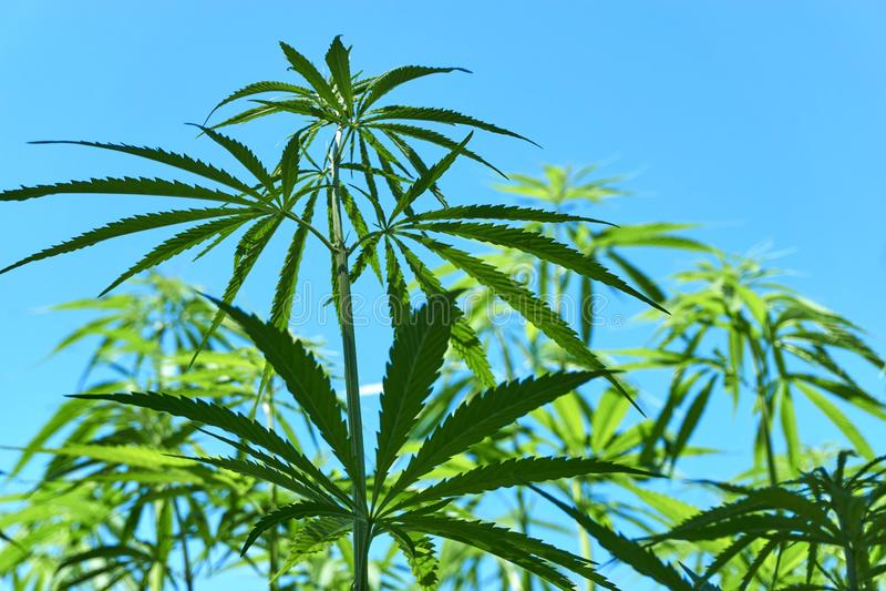 一棵工业用大麻植物的特写镜头 免版税库存图片
