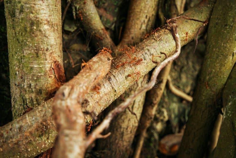 一棵巨大的榕属的根 库存图片