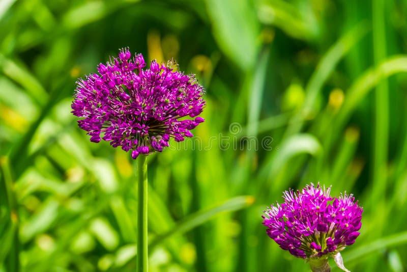 一棵开花的大的葱植物的宏观特写镜头,有紫色花地球的美丽的装饰庭园花木,自然背景 库存照片