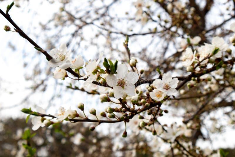 一棵开花的树的分支与美丽的白花的 库存图片