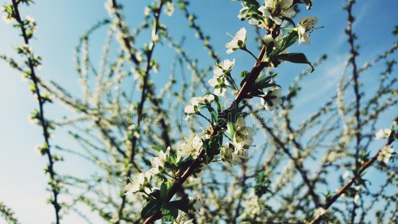 一棵开花的树的分支反对蓝天的 免版税图库摄影