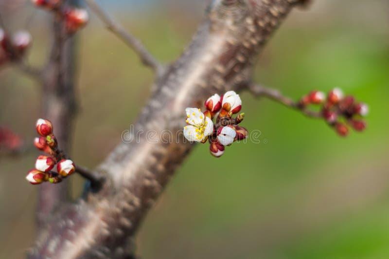 一棵开花的樱桃树、一个分支特写镜头与白花和年轻绿色叶子,以绿草为背景 免版税库存图片