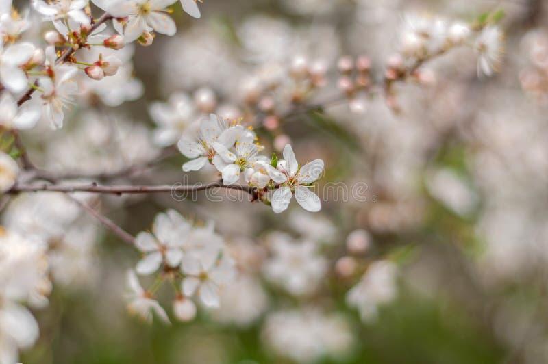一棵开花的樱桃树、一个分支特写镜头与白花和年轻绿色叶子,以绿草为背景 免版税库存照片