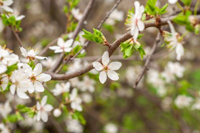 一棵开花的樱桃树、一个分支特写镜头与白花和年轻绿色叶子,以绿草为背景 库存照片