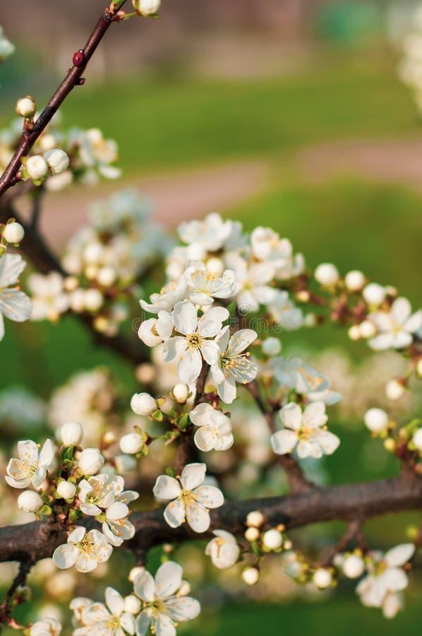 一棵开花的樱桃树、一个分支特写镜头与白花和年轻绿色叶子,以绿草为背景 库存图片