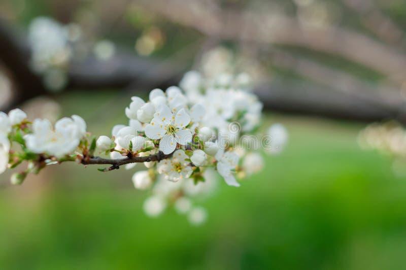 一棵开花的樱桃树、一个分支特写镜头与白花和年轻绿色叶子,以绿草为背景 图库摄影