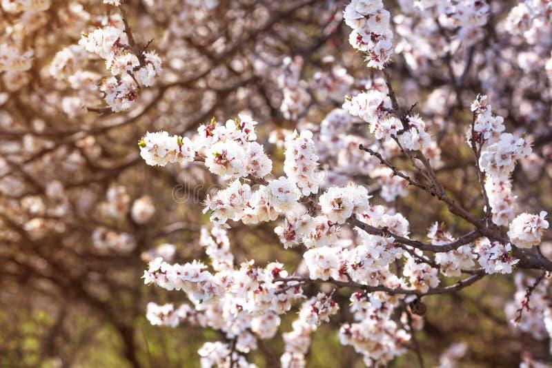一棵开花的樱桃树的分支在春天在果树园 图库摄影