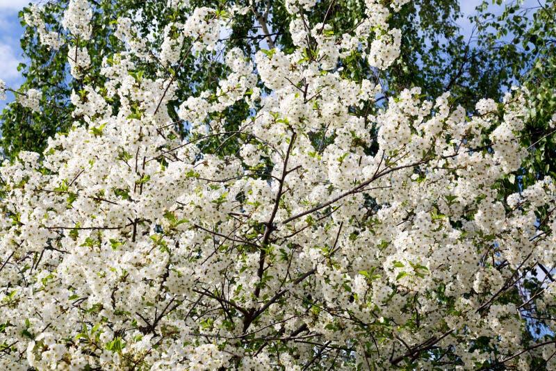 一棵开花的樱桃树的看法在春天在一清楚的好日子,用途的情况设计的 免版税库存图片