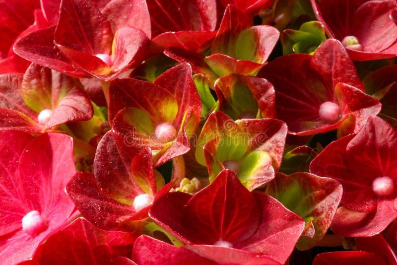 一棵开花的红色八仙花属植物的特写镜头 库存照片