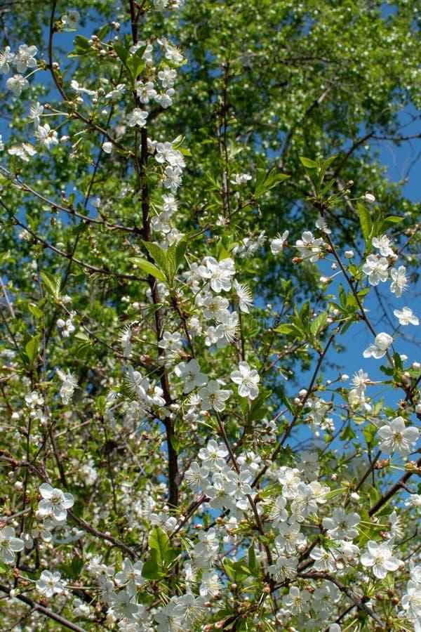 一棵开花的苹果树的分支在春天的以天空蔚蓝为背景 免版税图库摄影