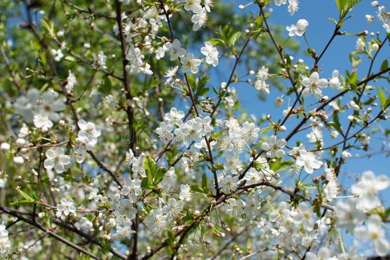 一棵开花的苹果树的分支在春天的以天空蔚蓝为背景 库存照片