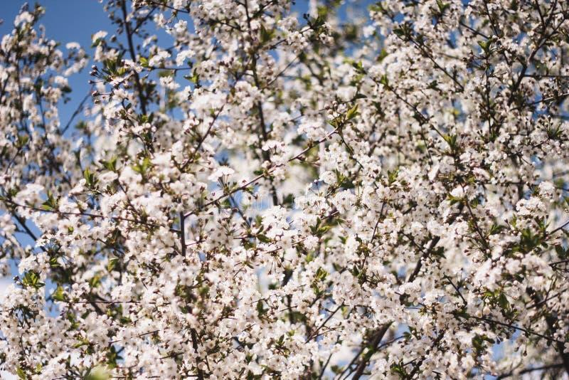 一棵开花的苹果树的白色分支反对天空蔚蓝的 花园树在春天 库存照片
