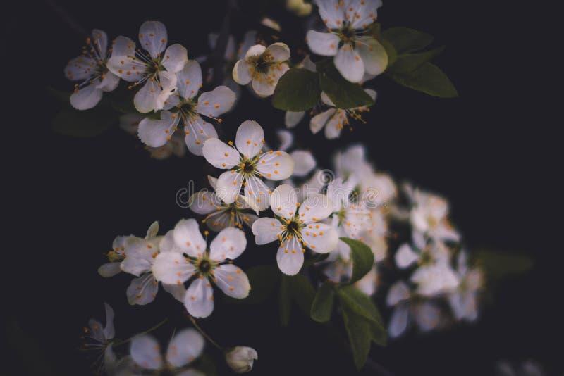 一棵开花的苹果树的白色分支在黑暗的背景的 苹果计算机花特写镜头 在黑背景的樱花 库存图片