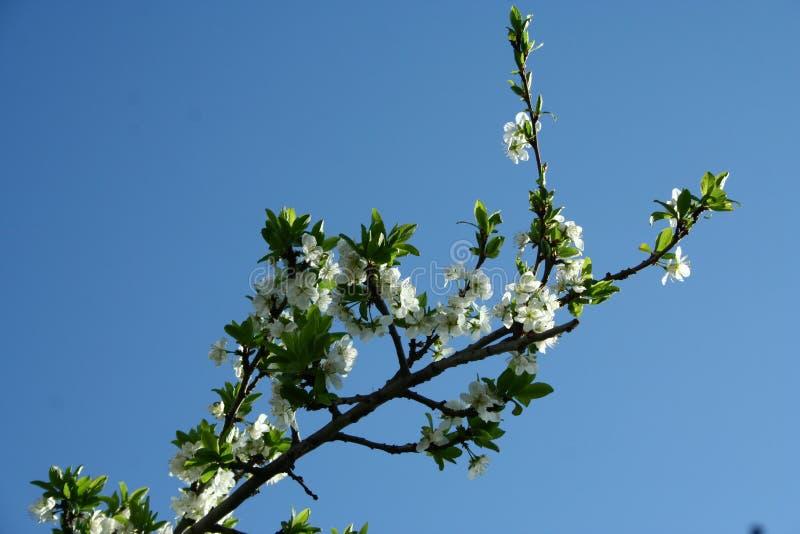 一棵开花的苹果树 免版税库存图片