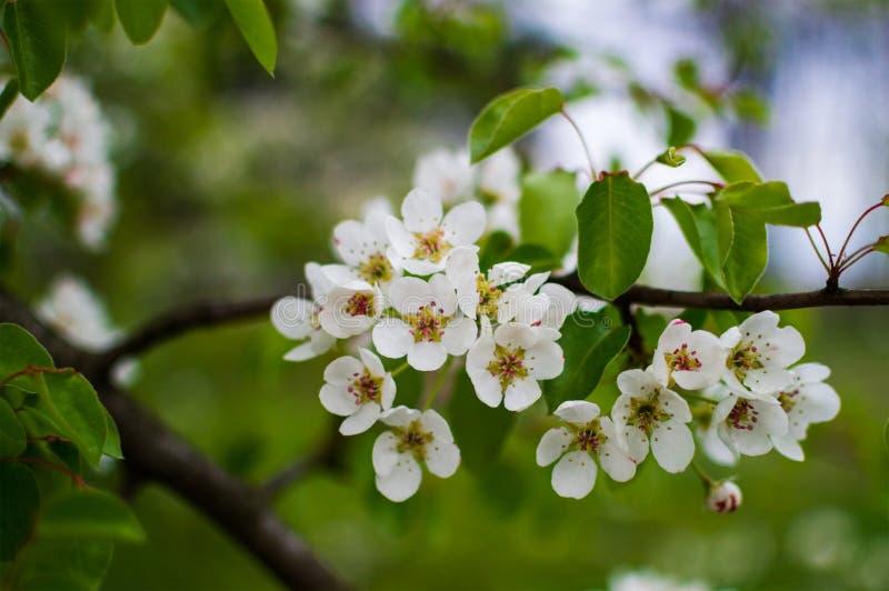 一棵開花的洋梨樹的一個美妙的分支與白色小的花的圖片