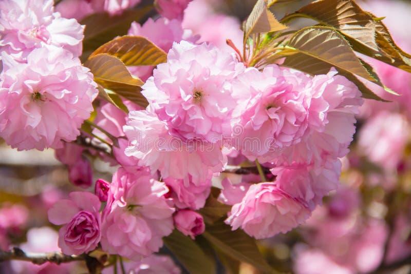 一棵开花的Kwanzan樱桃树与开花的春天 免版税库存图片