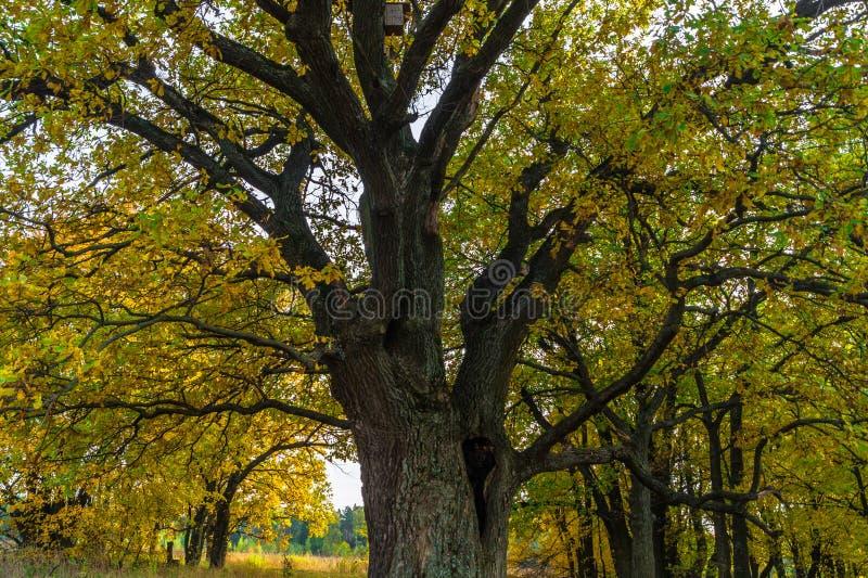 一棵强大老古老橡木,单独站立在遗物橡木树丛边缘 金黄秋天,豪华的黄色叶子 库存照片