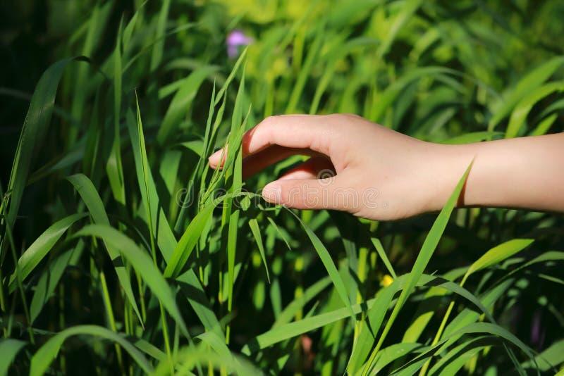一棵手接触草在夏天春天公园室外在一个晴天希望和平概念 免版税库存图片