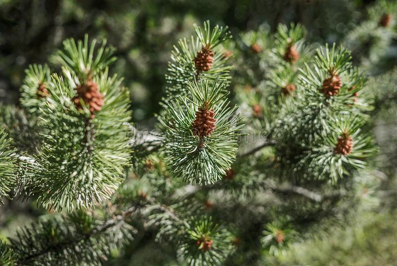 一棵新嗅到的杉树分支的特写镜头森林春天在阳光下与绿色多刺的针和新 免版税库存图片