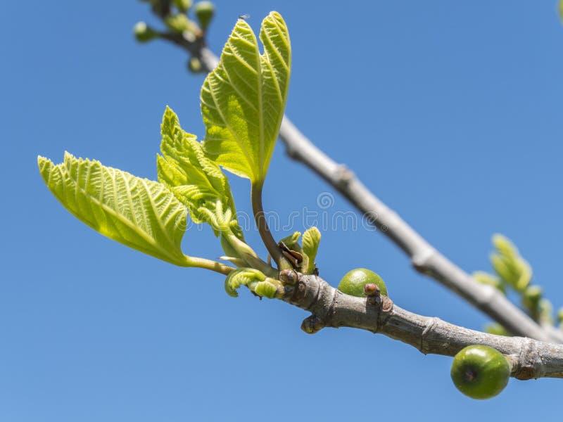 一棵无花果树的爆发在春天 免版税库存照片
