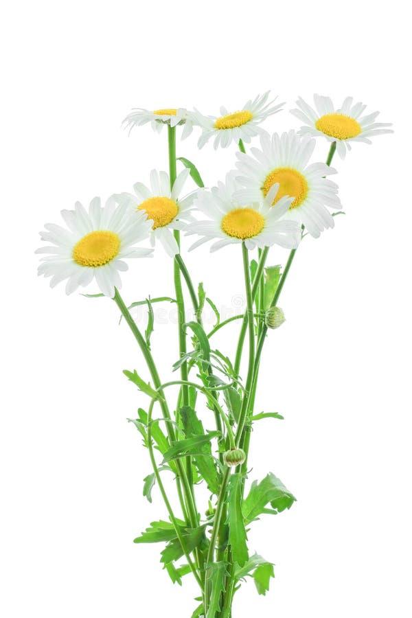一棵春黄菊或雏菊与在白色背景隔绝的叶子 免版税库存图片