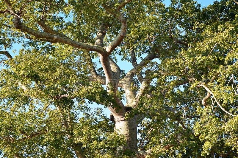 一棵木棉树的细节在Vinales谷,古巴的 库存图片