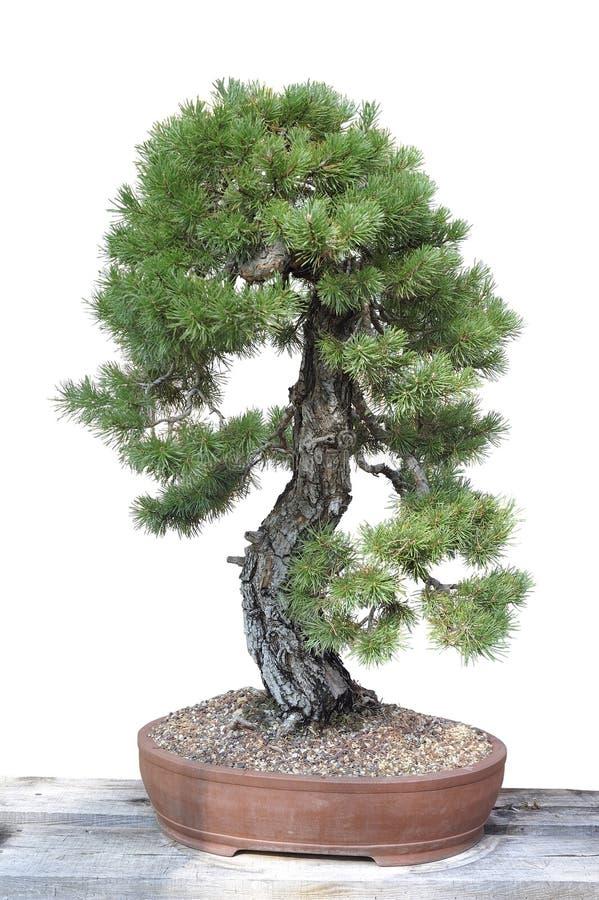 一棵杉木的盆景在罐的 免版税库存图片