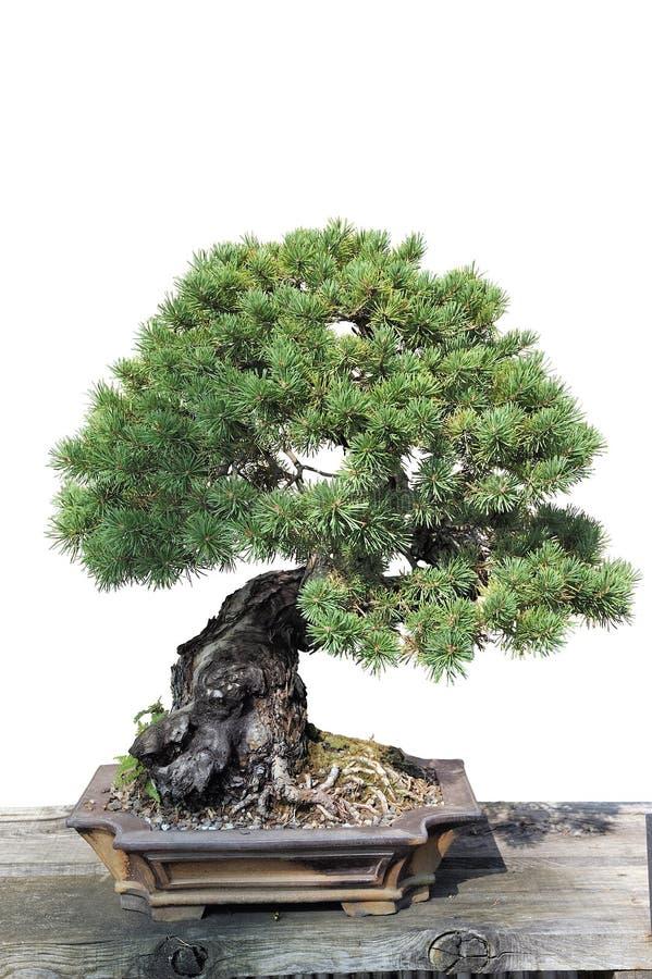一棵杉木的盆景在罐的 免版税图库摄影