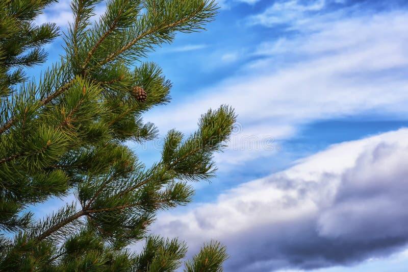 一棵杉木的绿色分支反对蓝天的 免版税库存图片