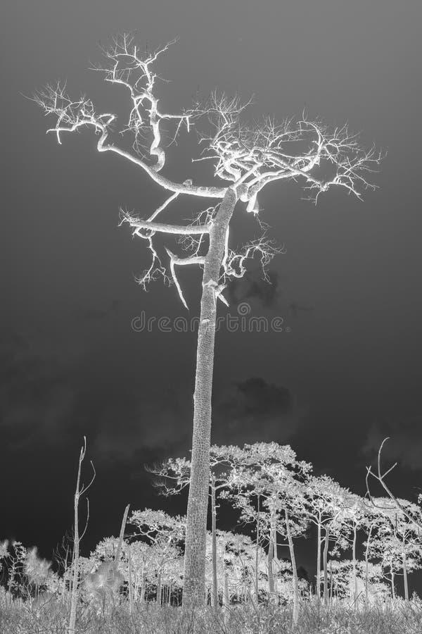 一棵杉树模子 免版税库存照片