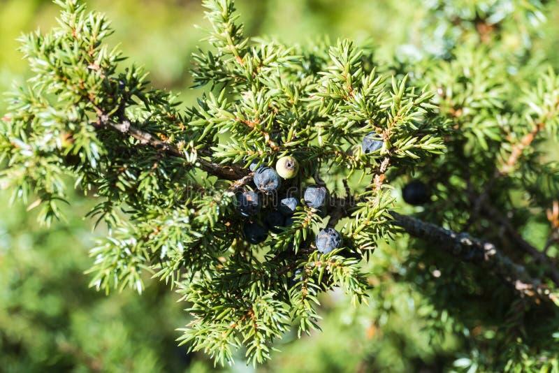 一棵杜松的分支与蓝蓝种子锥体的 库存图片