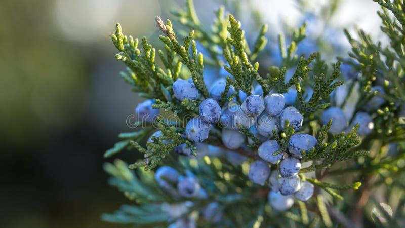 一棵杜松的美丽的灌木用莓果 图库摄影