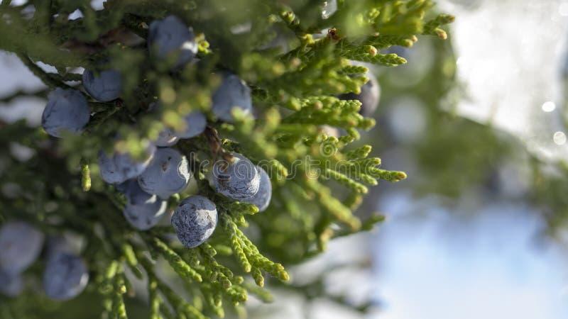 一棵杜松的美丽的灌木用莓果 库存图片