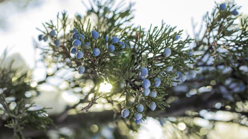 一棵杜松的美丽的灌木用莓果 库存照片