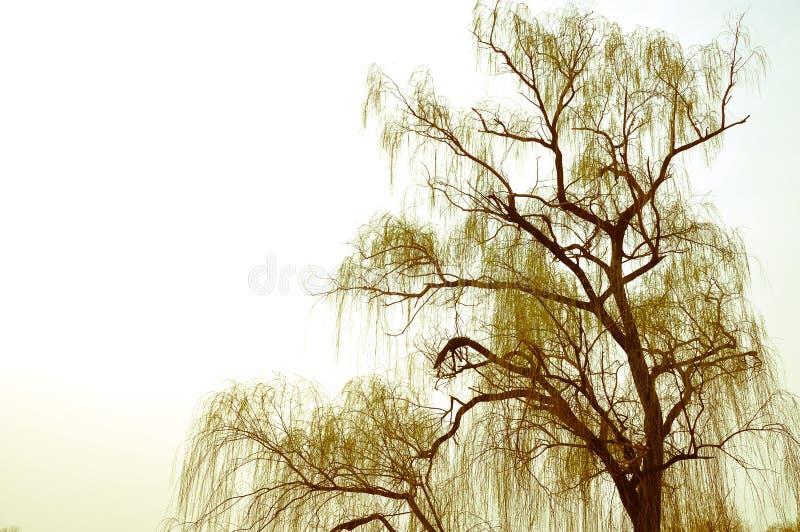 一棵杨柳在春天有天空背景 免版税图库摄影
