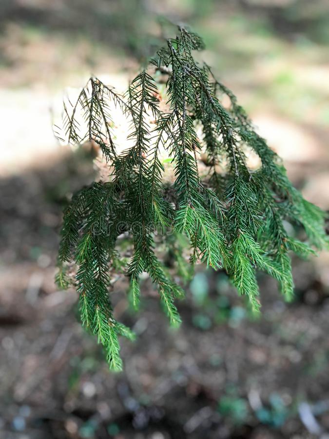 一棵枞松树的绿色有刺的自然新分支在一个具球果森林里 库存照片