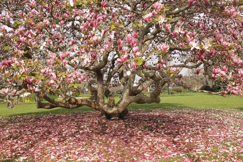 一棵树在秋天,新西兰 库存照片