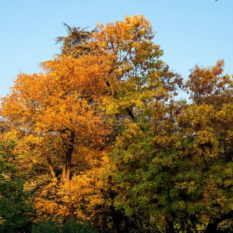 一棵树的五颜六色的秋天冠反对天空蔚蓝的 明亮的黄色,红色和绿色叶子 题材的巨大背景 免版税库存图片