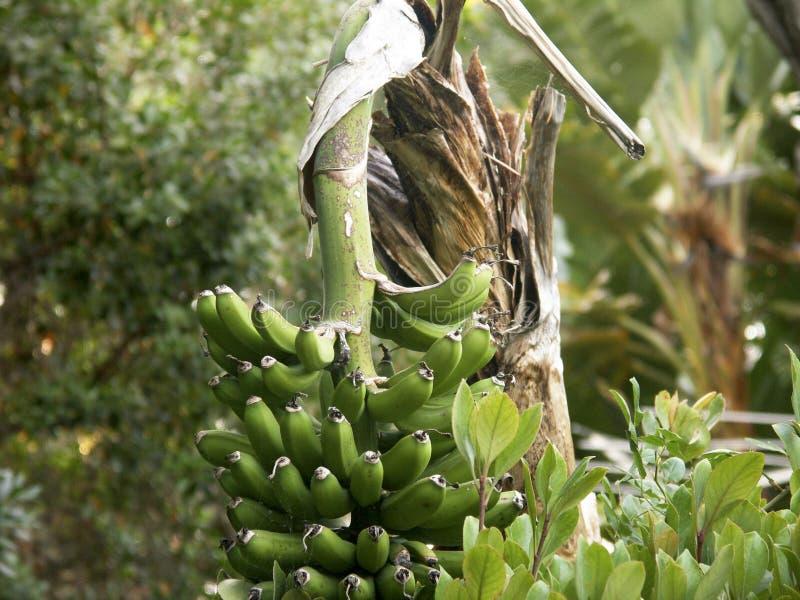 从一棵树的大蕉绿色香蕉吊与热带Backgroun 库存图片