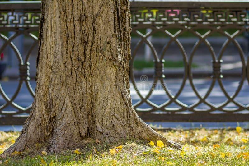 一棵树的树干在老生锈的金属篱芭附近的一个早晨阳光公园 老大树在城市在有绿草的草坪停放和 免版税库存图片