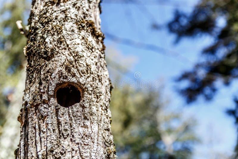 一棵树的树干的看法与鸟孔的 免版税库存图片