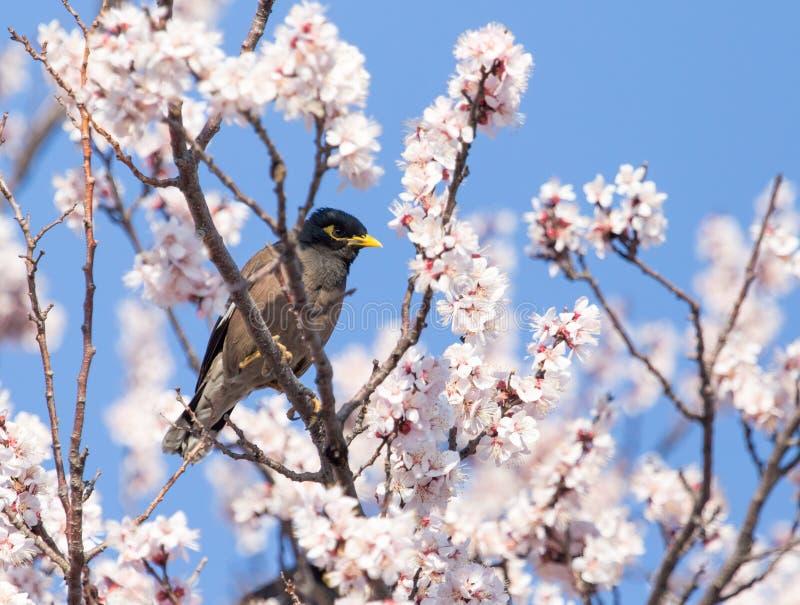 一棵树的椋鸟科与花 免版税图库摄影