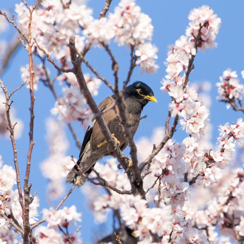 一棵树的椋鸟科与花 图库摄影