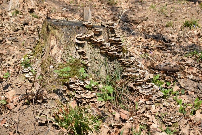 一棵树的残余部分与树真菌的 库存图片
