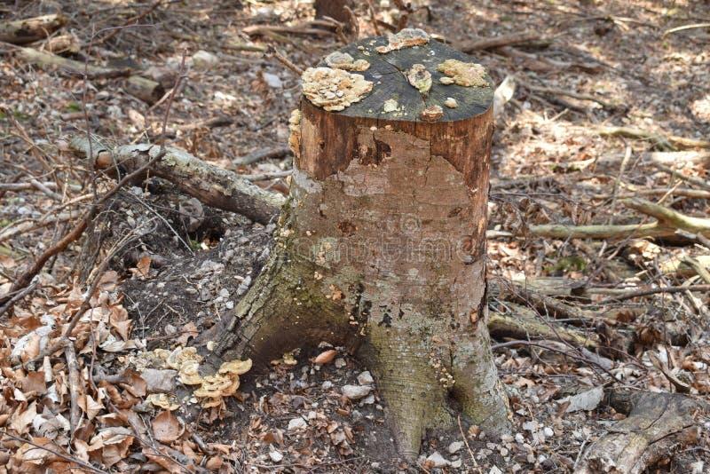 一棵树的残余部分与树真菌的 免版税库存图片